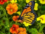 ..Monarch Resting..