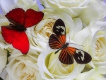 ..Butterflies on White Roses..