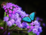 Blue Butterfly on Blue Flowers
