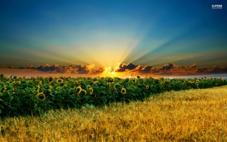 sunrise over sunflower field - sunflower, sunrise, sky, field