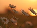 Daisy at Sunset