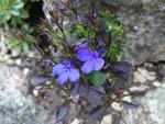 A Blue Lobelia