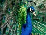 Awesome Peacocks