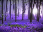 Bluebells in Morning Light