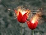 Spearkling Tulips
