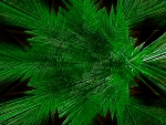 Pine Needles_abstract