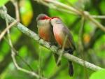 Cute Loving Birds