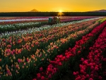 Sunset oner the tulips field