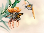 Monarch Butterflies F