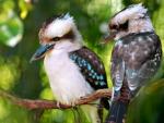 Kookaburras