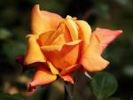 Lovely Rose Bloom