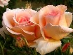 For sweet Adelina