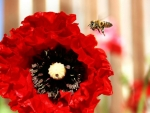 Bee and poppy