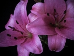 Pink Lilies Couple