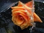 Orange rose in water