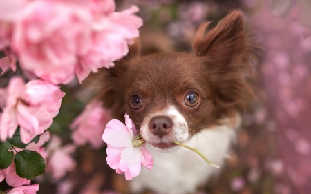 A pinkie for you! - brown, rose, animal, cute, flower, funny, white, pink, puppy, dog