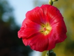 Stock Rose