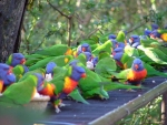 Feeding time for lorikeets