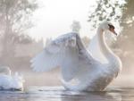 Swan in Foggy Lake