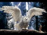 Snowy Owl ready to Takeoff