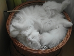Basket Full Of Kitten