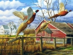 Dakota Farmyard Pheasants