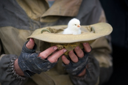 Protection - cute, soldier, chicken, protection, hand, hat