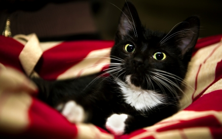 Patriotic Kitty - cute, red, tuxedo, black, American, white, cat