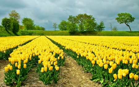 Yellow Tulips - flowers, tulips, rows, field