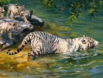 bathing white tigers