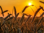 Sunset on a Field of Barley