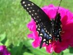 Black Blue Butterfly on Flower