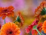 Orange and red garberas