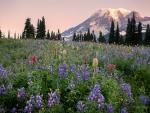 Mazama Ridge, Mt. Rainier NP