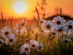 Daisies at Sunset