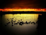 ducks in sunset