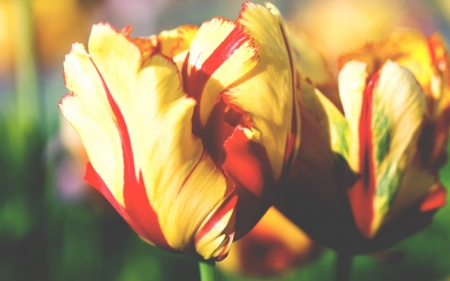 Tulips - yellow, flowers, tulips, brightness