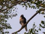 Hawk in Birch Tree