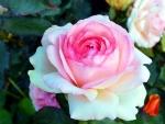 Enlish Rose