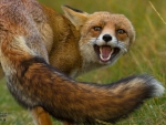 Attacked fox