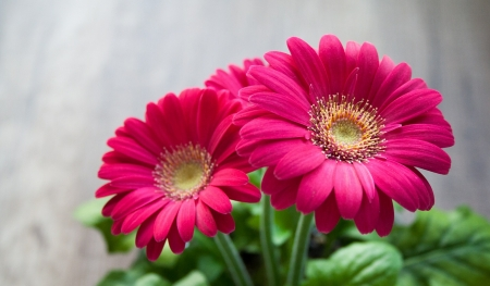 Pink  Gerbera - plant, close, spring, leaves, summer, gerbera, flowers, nature, pink