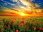 Poppy field against the sunset sky