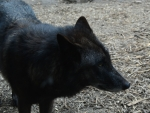 Black Tundra Wolf