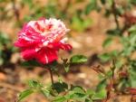Papagena Rose, Ooty Garden, India