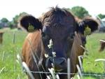 I am a little cow .