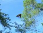 Flying Robin, Blue Sky