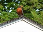 Robin on my Garage