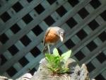Thoughtful Robin