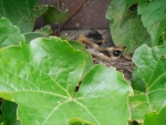 Baby Robins in the Ivy