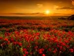 Sunrise over poppy field